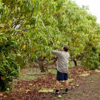 gallery_mangopicking
